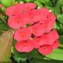 Euphorbia milii (crown of thorns) (Euphorbia milii)
