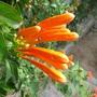 Pyrostegia venusta also called Flame Vine (Pyrostegia venusta)