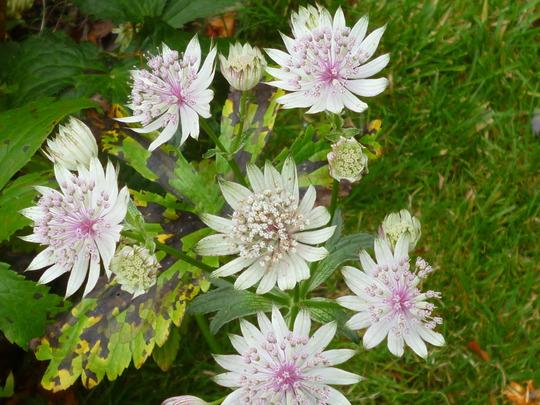 Astrantia still in flower (Astrantia major (Masterwort))