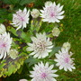 Astrantia still in flower (Astrantia major (Masterwort))