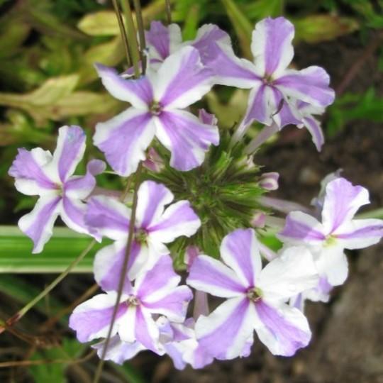 Verbena Lavender Star (Verbena)