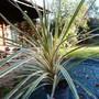 Cordyline australis Variegata