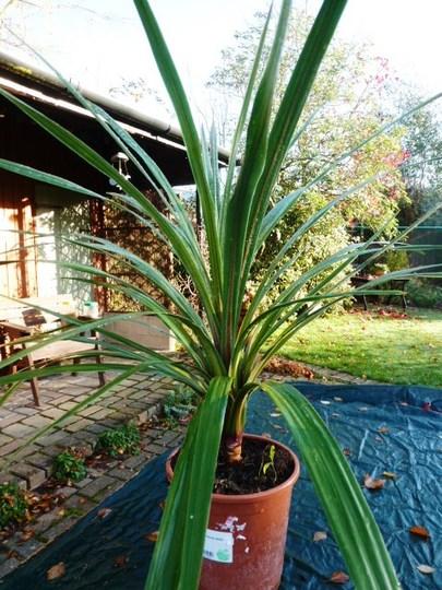 Cordyline australis  Verde