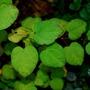 Cercidiphyllum japonicum.... (Cercidiphyllum japonicum (Katsura tree))