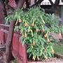 Brugmansia sanguinea. (Brugmansia sanguinea)