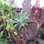 Agave attenuata and Yucca guademalensis.