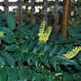 Mahonia Charity... (Mahonia x media (Lily of the valley bush) Charity)