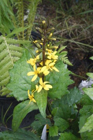 ligularia bloom (Ligularia stenocephala)