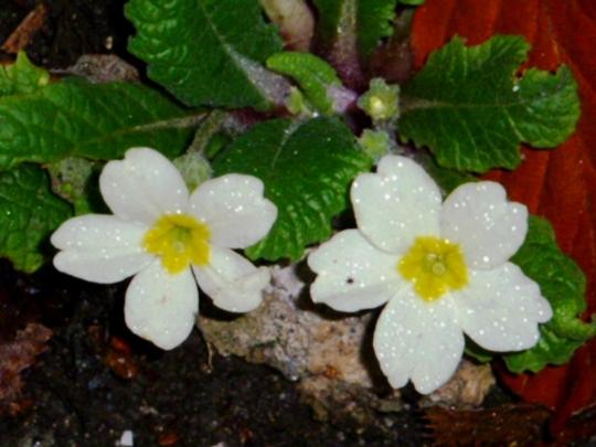 Wild primroses    5th Dec. 2014