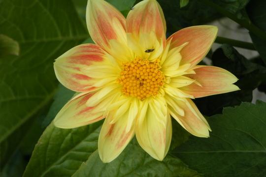 bedding dahila (Dahlia Pinnata (Dahlia))