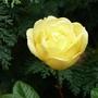 P1180601_rose_with_love._dec._2014