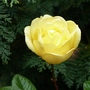 December rose ...