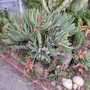 Aloe in bloom (Aloe plicatilis)