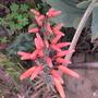 Closer to Aloe of you.... (Aloe plicatilis)