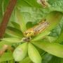 Grasshopper on Lupine