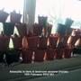 Amaryllis in tiers in bedroom window. Inside 10-02-2014 001 (Amaryllis Hippeastrum)