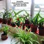 Amaryllis Anglo-American hybrids in kitchen window 16-06-2014 001 (Amaryllis Hippeastrum)