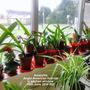 Amaryllis Anglo-American hybrids in kitchen window 16-06-2014 002 (Amaryllis Hippeastrum)
