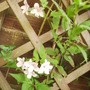 Common Jasmine [Jasminum Officinale] Flowers 07.08 (Jasminum officinale)
