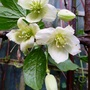 Clematis_wisley_cream_dec._2014