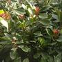 Ficus cyathistipula - African Fig Tree (Ficus cyathistipula - African Fig Tree)