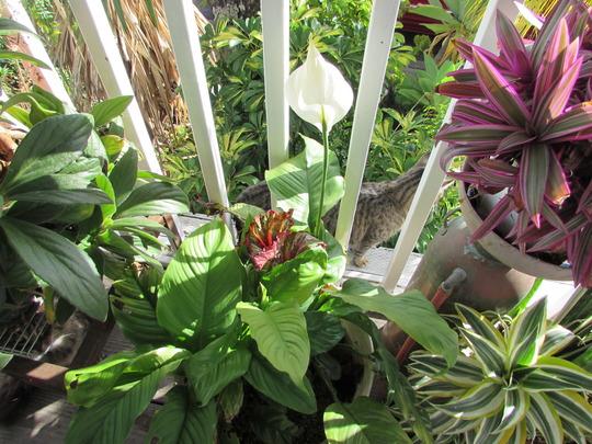 Peace on Earth. (Spathiphyllum floribundum (Snowflower))