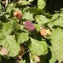 Thornless Blackberry[Rubus Fruticosus] fruiting 07.08 (Rubus fruticosus)