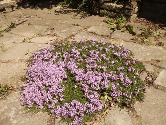 Garden Thyme [Thymus vulgaris] 07.08 (Thymus vulgaris)