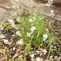 Lavender 'Arctic Snow' [Lavendula angustifola] 07.08 (Lavandula angustifolia  ... 'Arctic Snow' (Vistabile))
