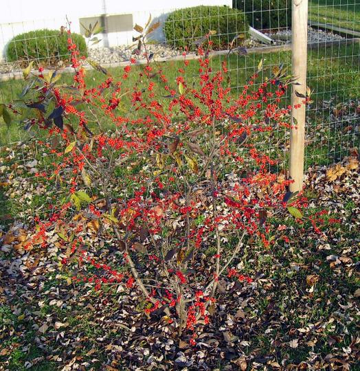 Ilex verticillata 'Winter Red'  (Ilex verticillata (Aliso Negro))