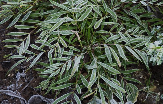 Mahonia 'Soft Caress' Frosting (Mahonia eurybracteata)