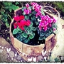Winter cyclamen in old rice bucket.... (Cyclamen hederifolium (Hardy cyclamen))