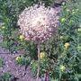 Allium, RHS Wisley