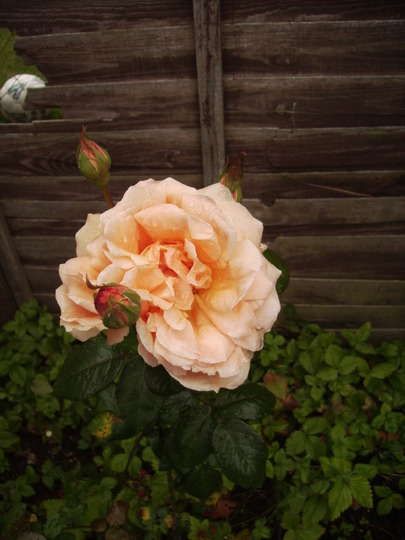 Hybrid Tea Rose 'Whisky Mac' 07.08 (Rosa)