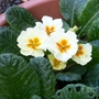 Primrose on 28th Dec.