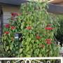 Hayward Poinsettia. (Euphorbia pulcherrima (Poinsettia))