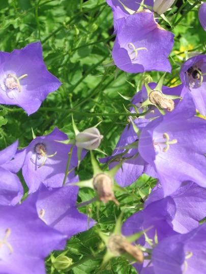 bellflower (carpathian bellflower campanula carpatica)