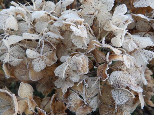 Frost on the Hydrangeas