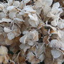 Frost on the Hydrangeas