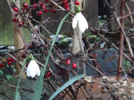 Galanthus elwesii Mrs Macnamara, for bjs. (Galanthus elwesii (Snowdrop))