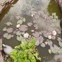Water Lily [Nymphaea odorata.] 06.08S (Nymphaea odorata (Vistabile))