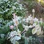 frost on rosebuds for new year