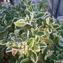 Viburnum tinus new year 2015 (Viburnum tinus)
