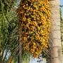 Palm_tree_fruit
