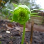 Helleborus_cyclophyllus_2015
