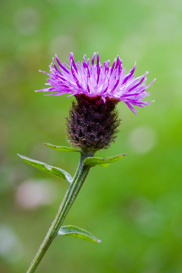 Common/Black Knapweed