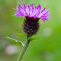 Common/Black Knapweed (Centaurea nigra (Black Knapweed))