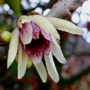 Chimonanthus_..1