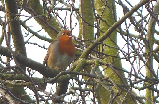 Robin friend .. loud and happy !