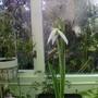 Galanthus Mary Biddulph
